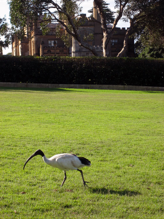 Ibis In Front Of Goverment House